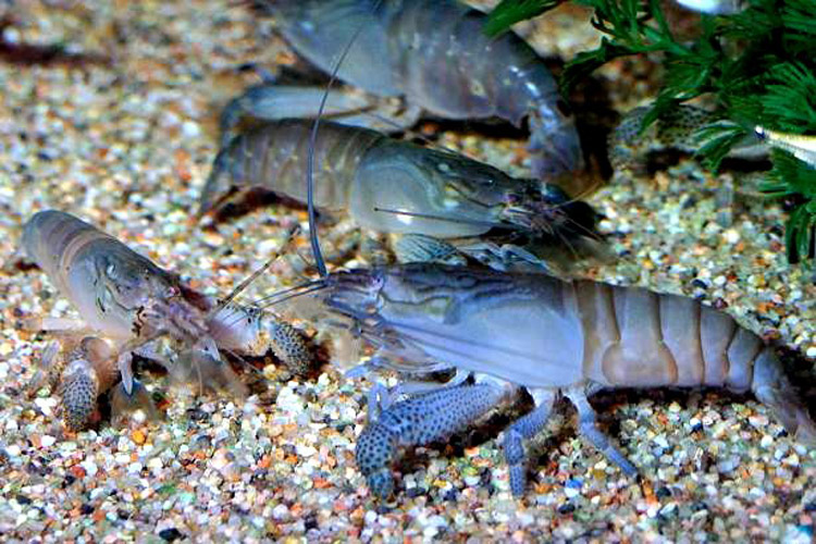 Bientôt des crustacés made in Gabon