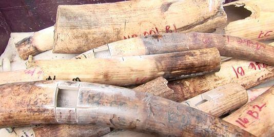 Un trafiquant intercepté avec 10 défenses d'éléphants