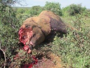 Un camerounais interpellé avec 12 pointes d'ivoire dans un sac