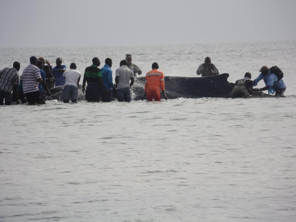 Une nouvelle baleine à bosse échoue sur une plage à Port-Gentil