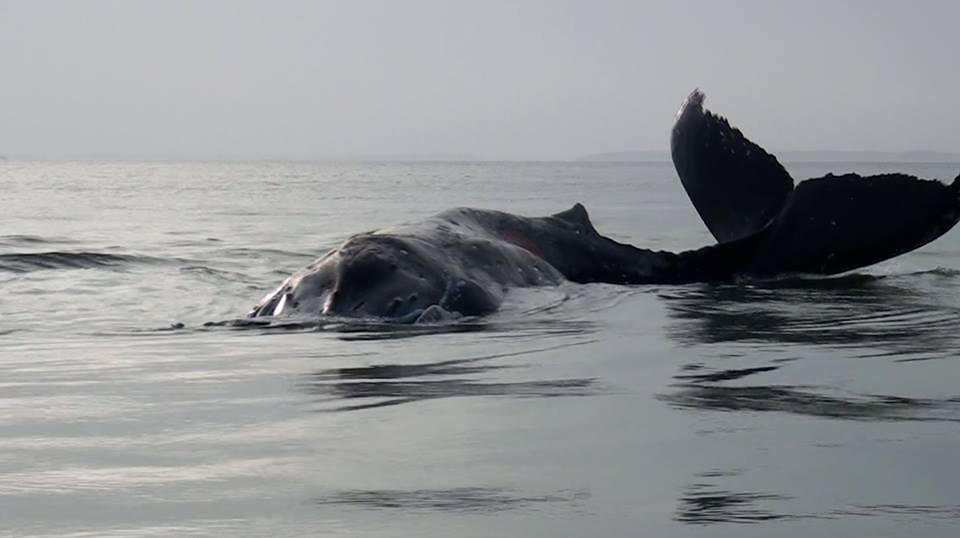 La baleine a retrouvé son paradis après plusieurs heures d'égarement @ DTK