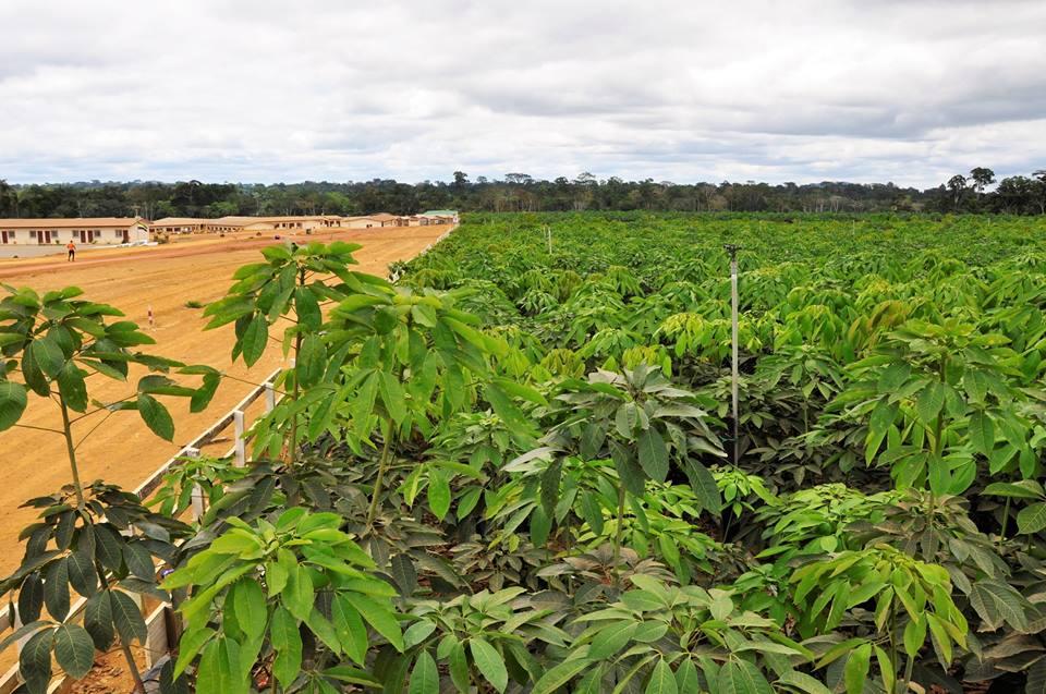 La plantation d'hévéa a créé 900 emplois à Bitam (Ali Bongo)