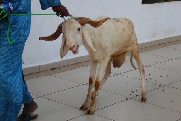 Le mouton faisant partie du don @ Photo Infos Gabon