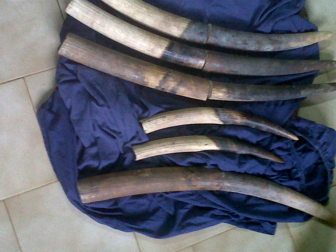 Trois gabonais interpellés avec 6 pointes d'ivoire à Mouila