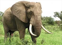 Éléphant du Gabon @ DR