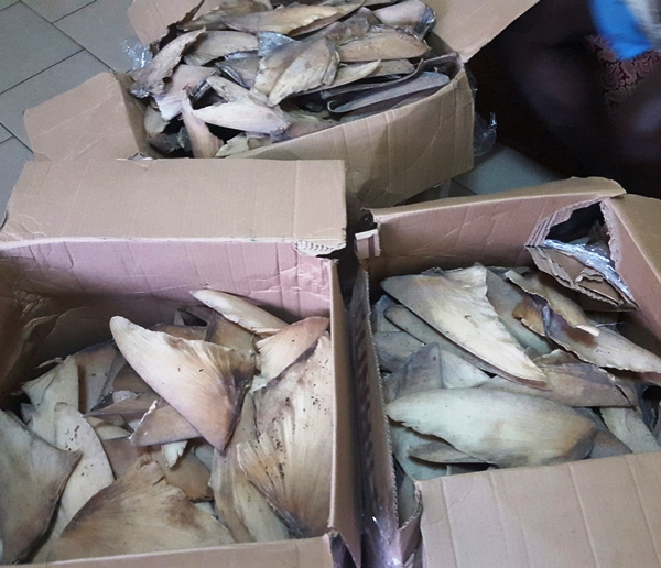 Un citoyen nigérian interpellé avec un stock de 1069 ailerons de requin