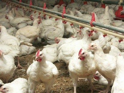 Grippe aviaire : le Gabon interdit d'importer du Cameroun la volaille et ses dérivés