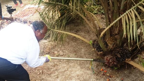 Ali Bongo lance la première récolte des  palmiers à huile de Mouila