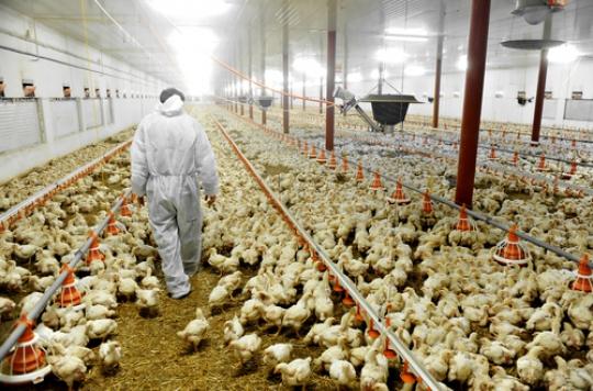 Le Gabon interdit d'importer la volaille de France à cause la grippe aviaire