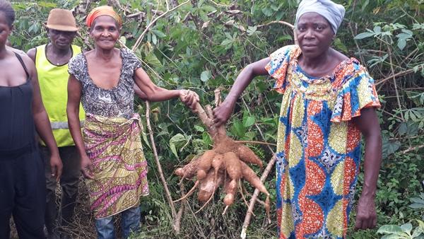 Programme Graine dans l'Ogooue Ivindo : 288 hectares de manioc sur le point d'être récoltés
