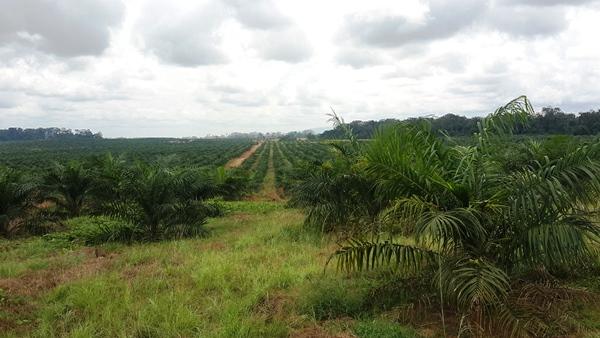 Olam expérimente une palmeraie sur un terrain rocailleux à Mandji