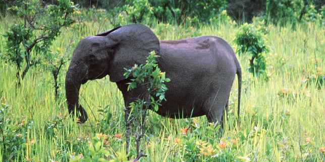 Les éléphants de Mandji n'épargnent pas la palmeraie d'Olam