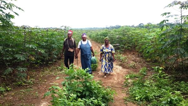 Programme Graine Ngounié : une récolte de 1 700 tonnes de manioc  attendue au mois de mars prochain