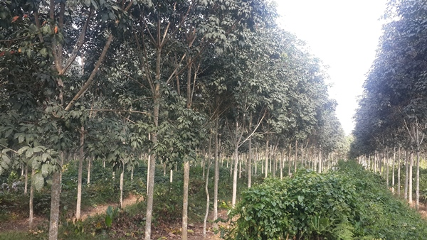 Olam agréablement surpris par la rapide croissance de sa plantation d'hévéa à Bitam