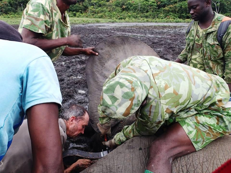 Le Gabon pose des colliers électroniques sur ses éléphants pour piéger les braconniers