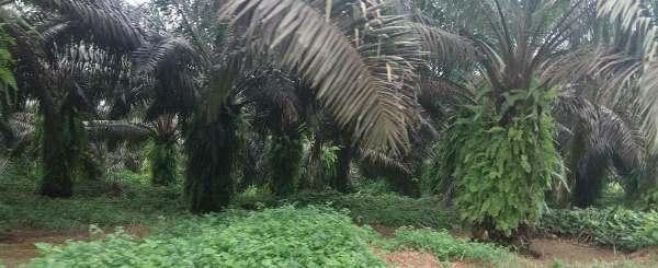 Makouké la plus ancienne palmeraie en production au Gabon