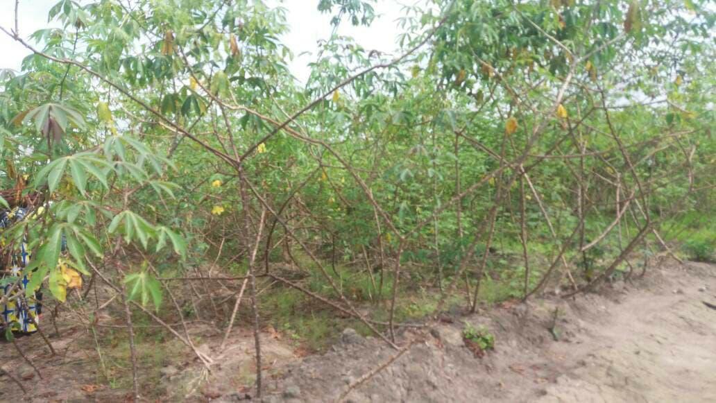 Le projet Graine permet de réduire l'importation du manioc congolais dans la Ngounié