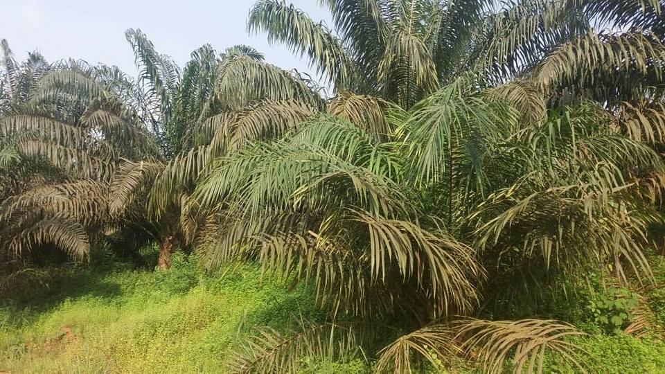 Voyage au cœur d'Olam: Awala une jungle transformée en une zone industrielle