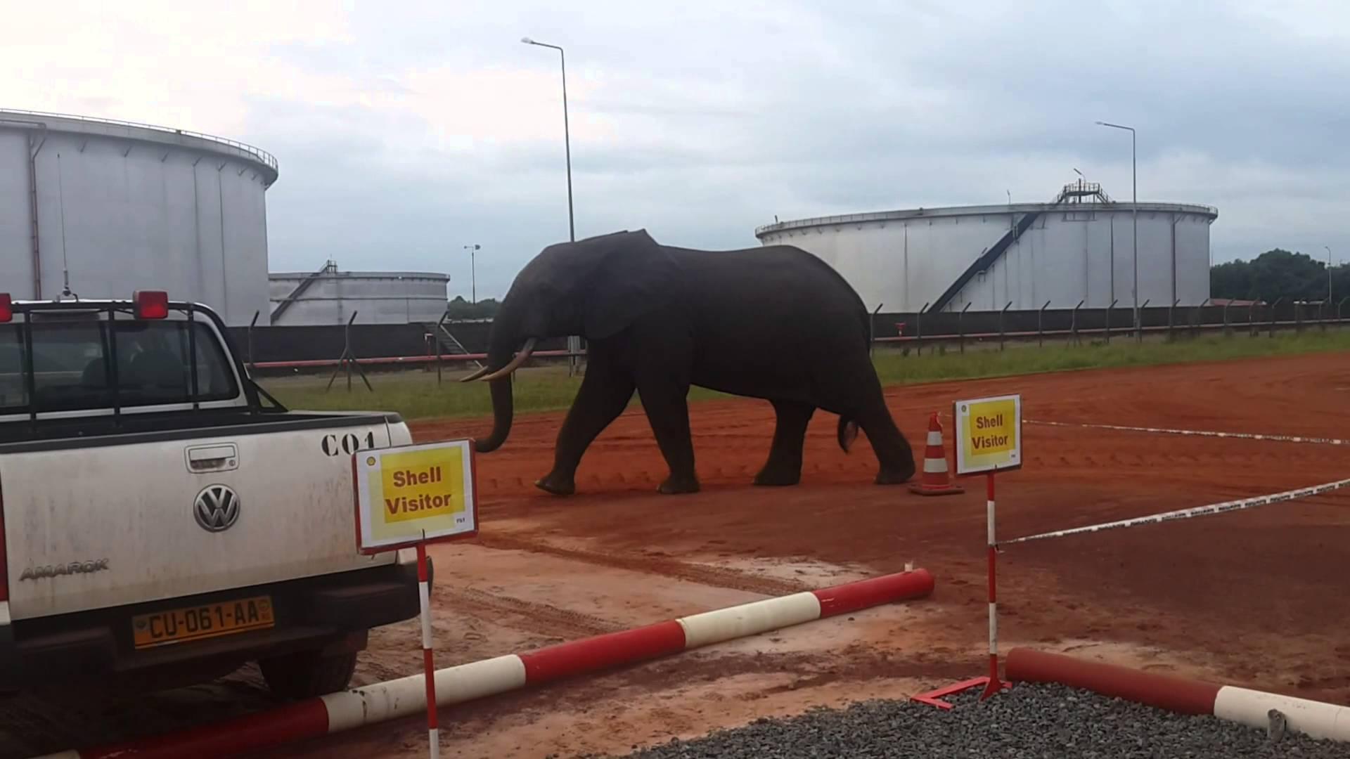 Deux gendarmes interpellés à Gamba pour complicité de braconnage d'éléphants