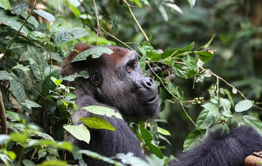 Une étude colossale réalisée en Afrique révèle que les gorilles et chimpanzés y sont plus nombreux que prévu, mais que 80% vivent en dehors des zones protégées