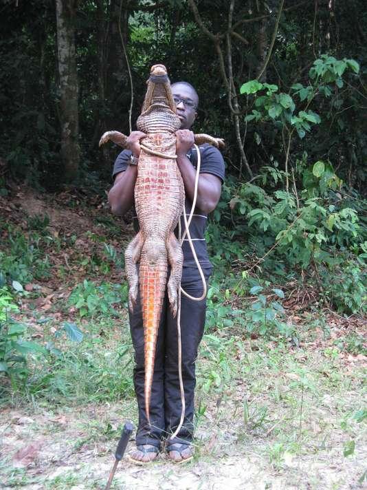 Découverte des crocodiles de couleur orange au Gabon, une première mondiale