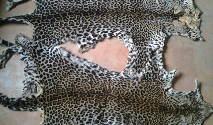 Un ressortissant nigérian interpellé avec deux peaux de panthères à Koulamoutou
