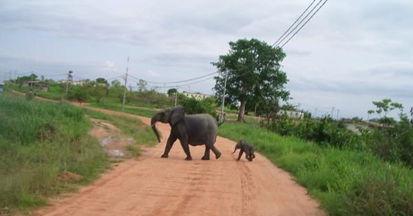 Un éléphant piétine à mort un agriculteur à Mandji