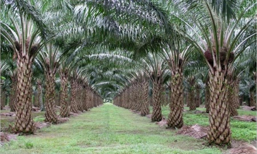 Préservation de l'environnement : la Malaisie veut s'inspirer du Gabon pour produire l'huile de palme propre