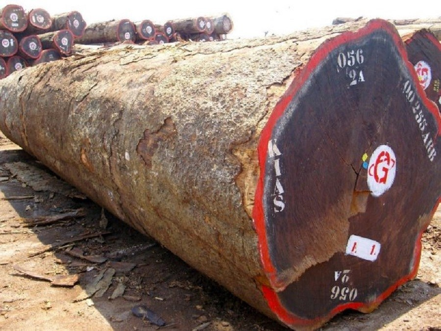 Des chinois épinglés avec 1000 m3 de Kévazingo et d'autres bois strictement interdits d'exploitation