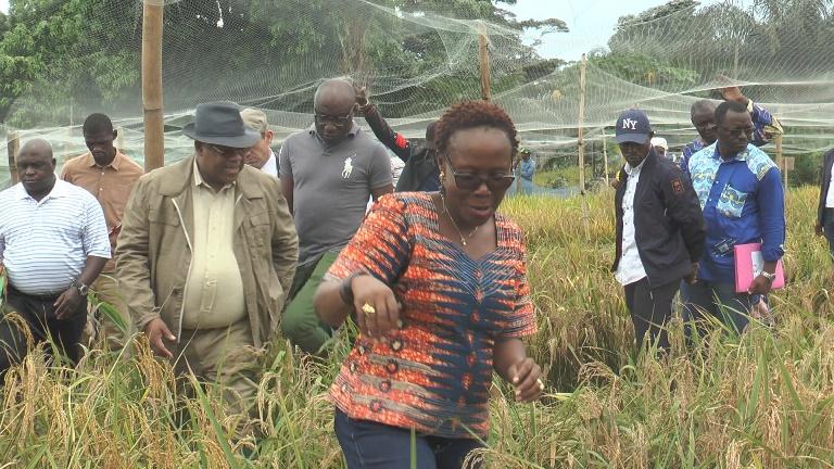 Le Gabon lance sa première récolte de riz après plusieurs expériences manquées